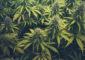 Marihuana plants